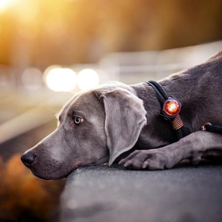 Elbhunde Dresden Orbiloc Dog Dual Safety Light Weimaraner