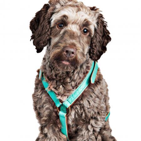 Elbhunde Dresden DWAM Leder-Hundegeschirr Avalon Hund Frontal